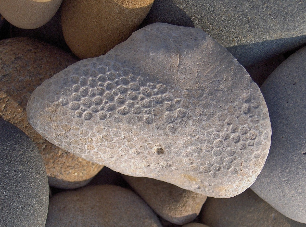 Lake Michigan Beach Favosite Coral Fossil