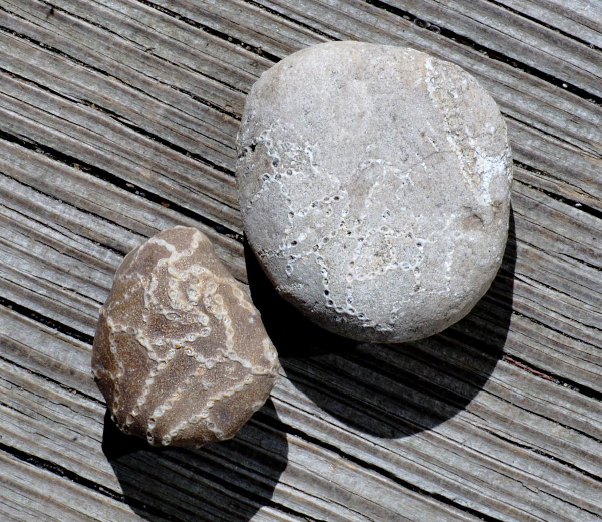 Lake Michigan Chain Coral Fossils