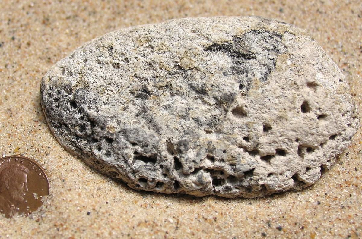 Lake Michigan Beach Clam Shell Fossil