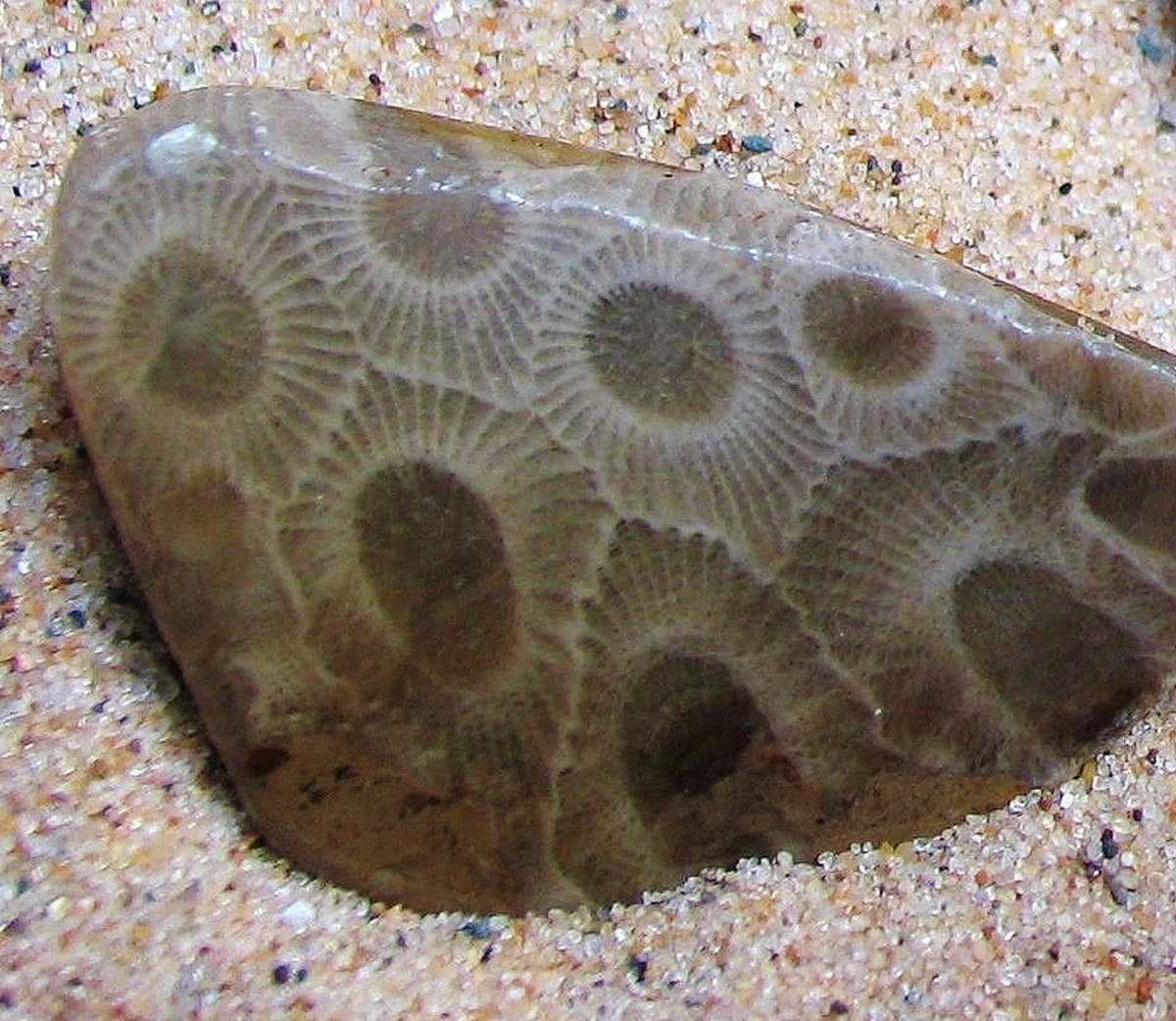 """Polished """"Petoskey Stone"""" Coral Fossil"""