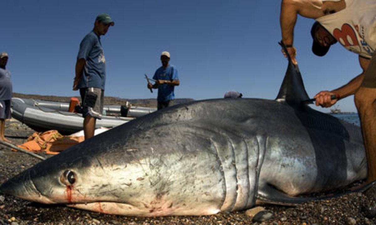 shortfin mako shark being de-finned