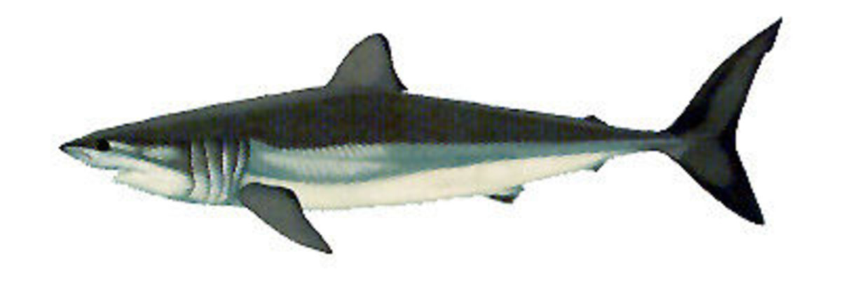 endangered-sharks