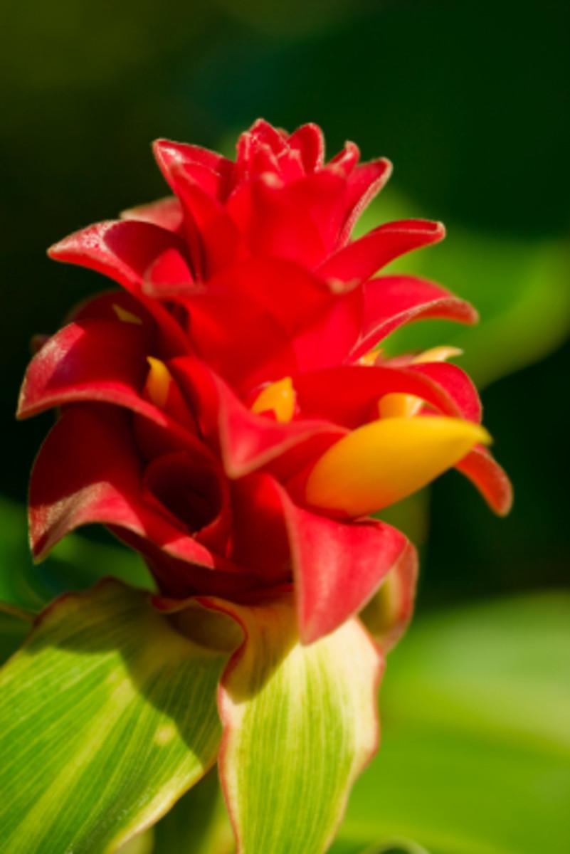 Red Ginger - Closeup