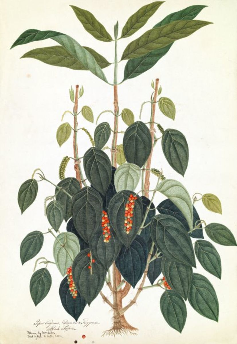 The Pepper plant, its seeds were more valuable than gold
