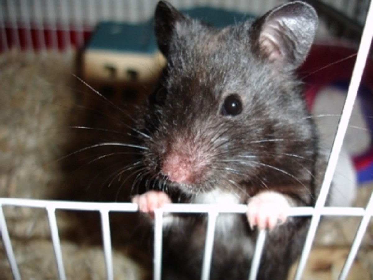Black Bear Hamsters are so cute.