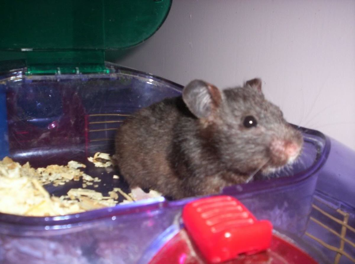 Black Bear Hamsters are quite the conversation starter.
