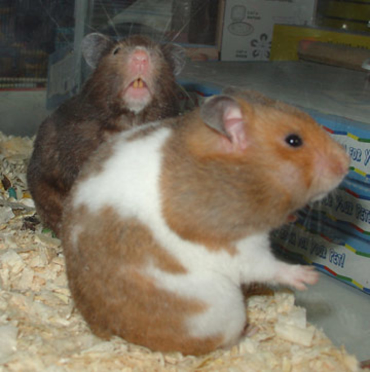 All You Ever Wanted To Know About Hamsters