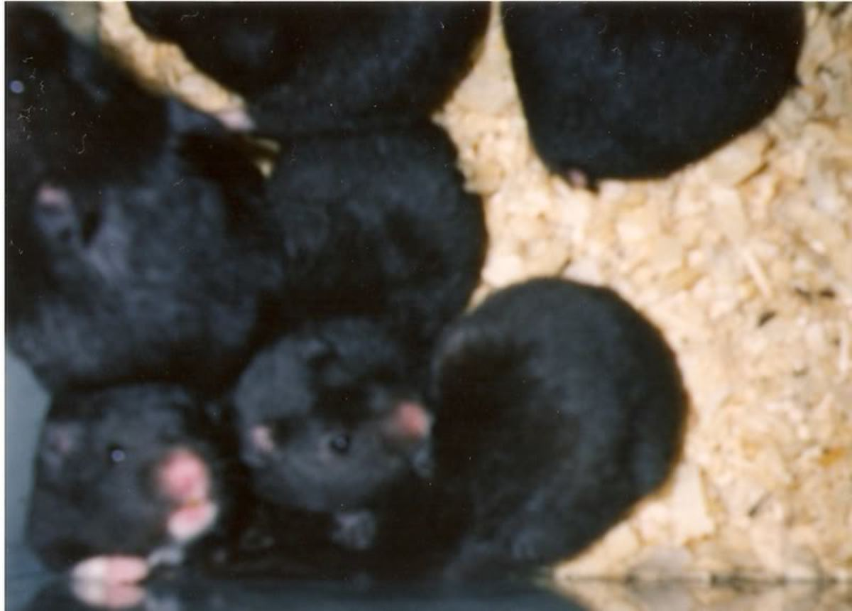 Black Bear Hamsters really do look like little Black Bears.