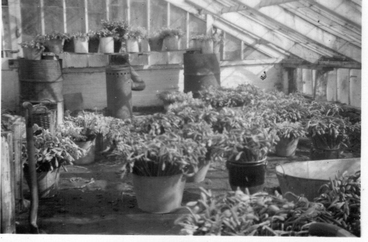 original-old-guernsey-farming-photos