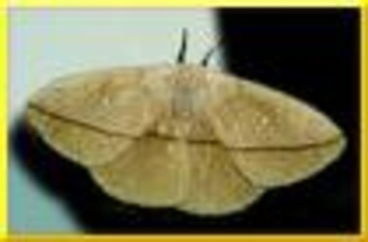 The Lonomia Moth    serioussam.org.com