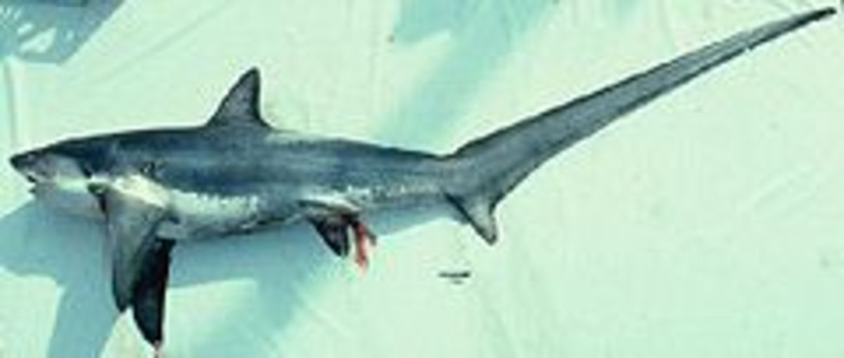 Thresher shark with its elongated caudal fin