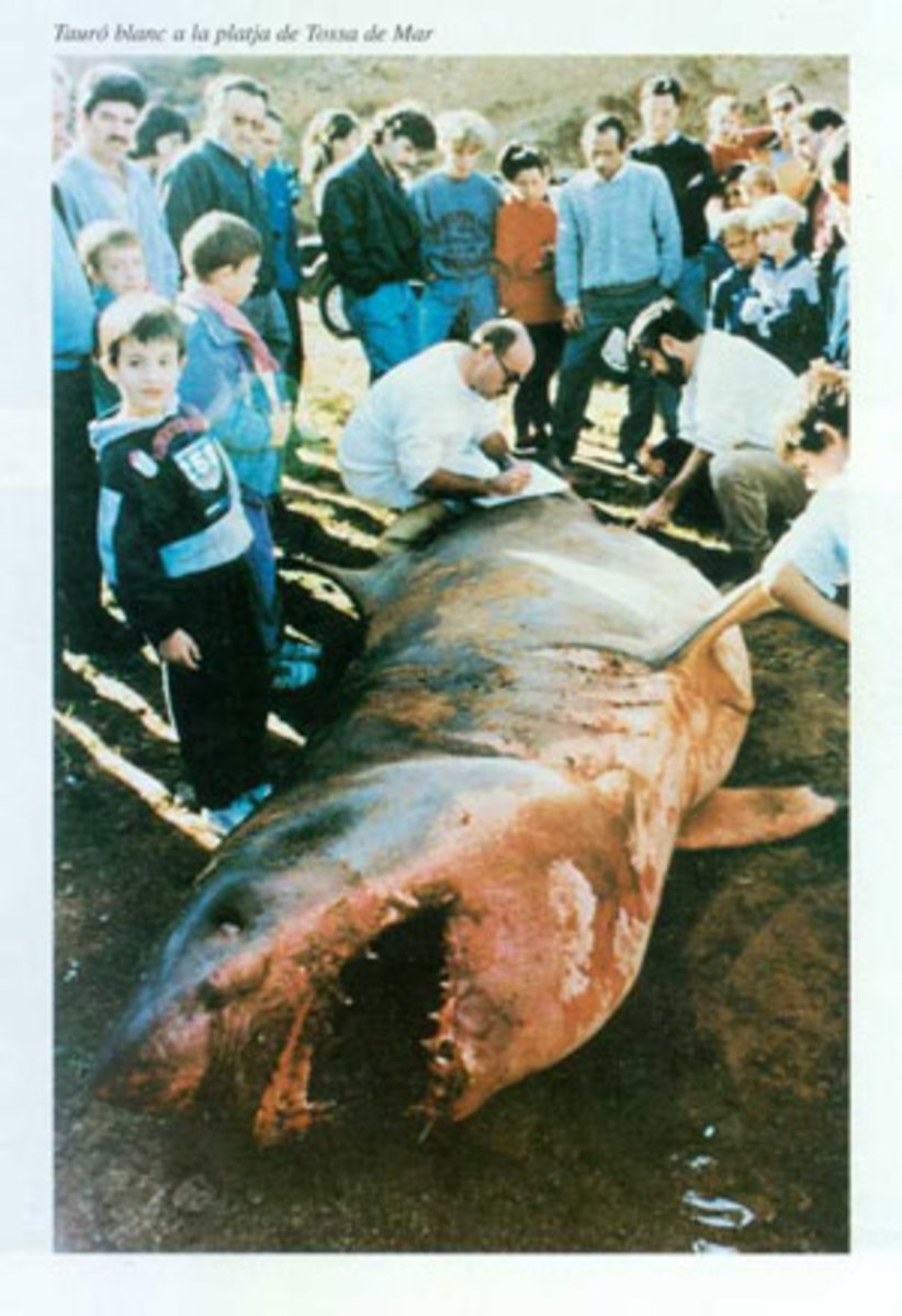 a great white shark that was washed up on the beach at Tossa de Mar in Catalonia, Spain, in 1992