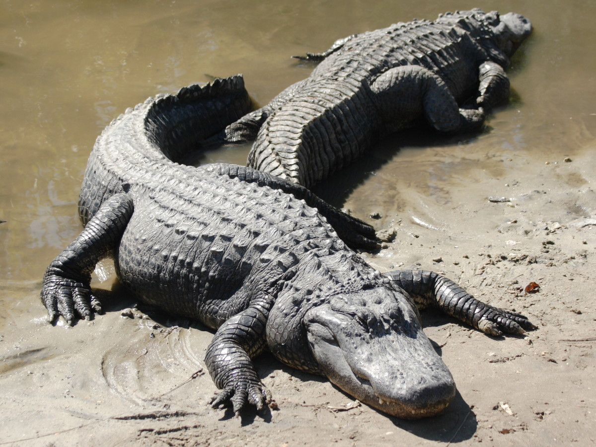 Alligators developed MICROPENIS syndrome