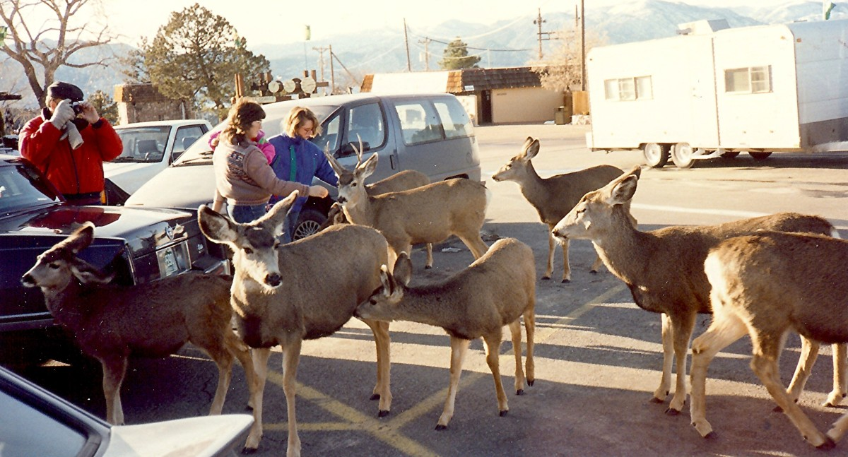 Deer in the parking lot at the Royal Gorge during the time of our winter visit
