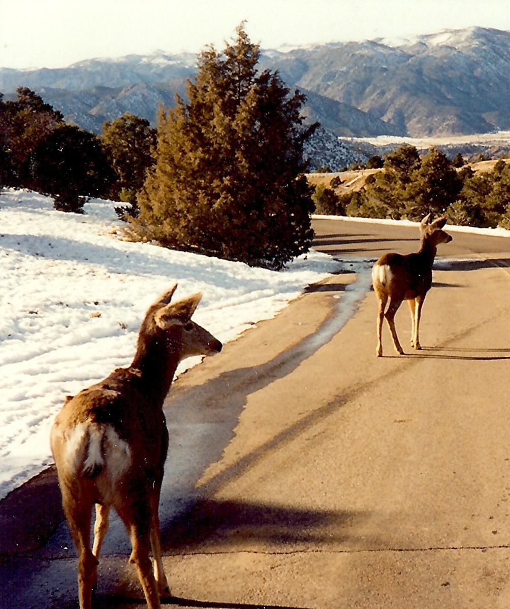 Deer near the Royal Gorge