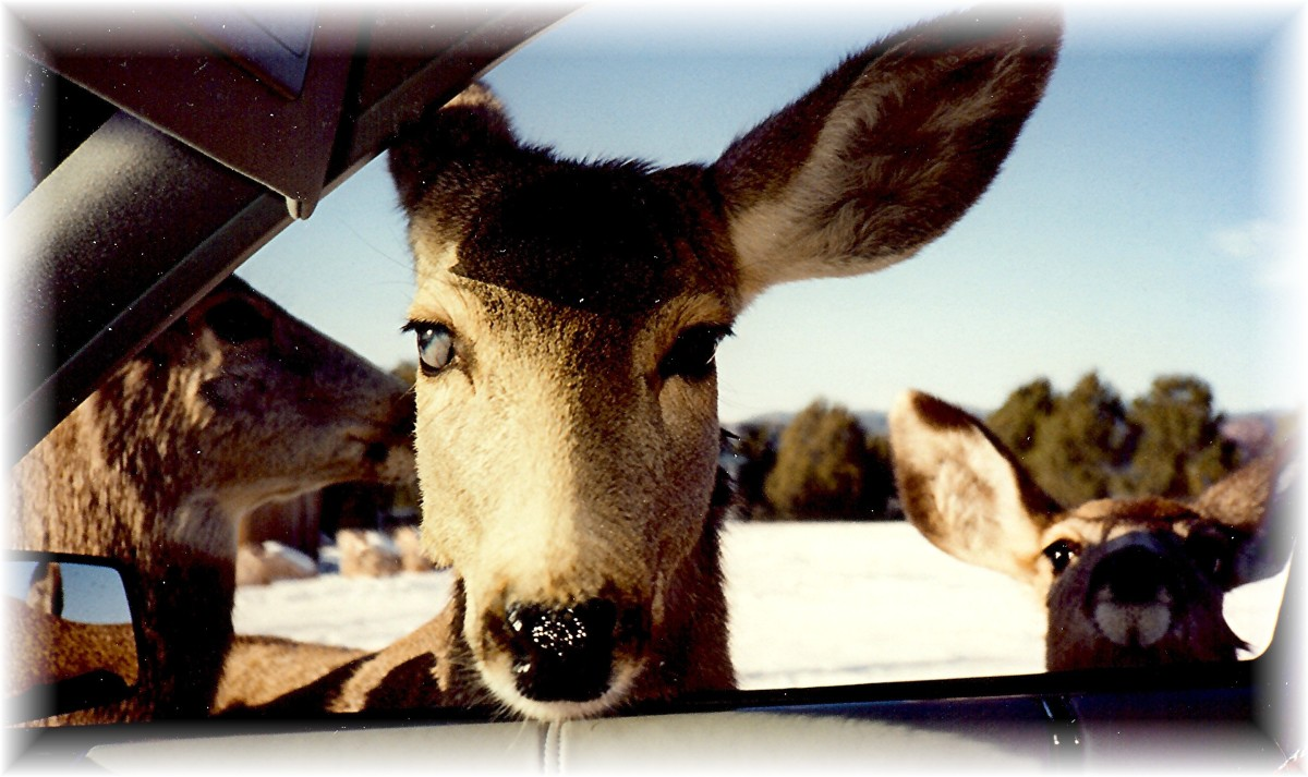 The deer looking at us through our car window wanting more food.