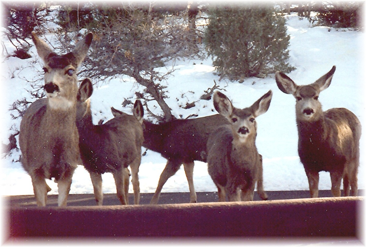 A final look at our buddies...the deer...at the Royal Gorge