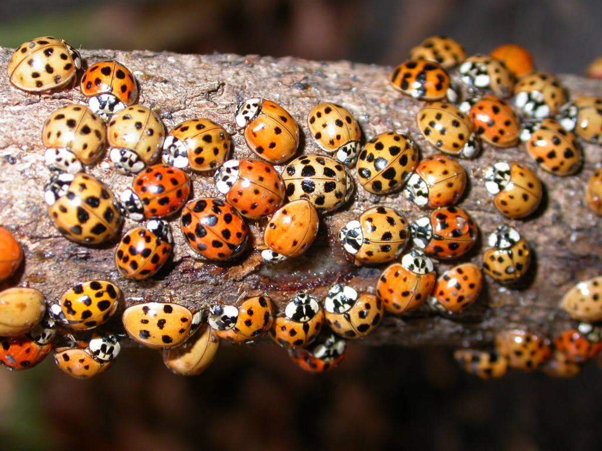 Ladybugs love to eat aphids so you want ladybugs hanging around the yard and garden.