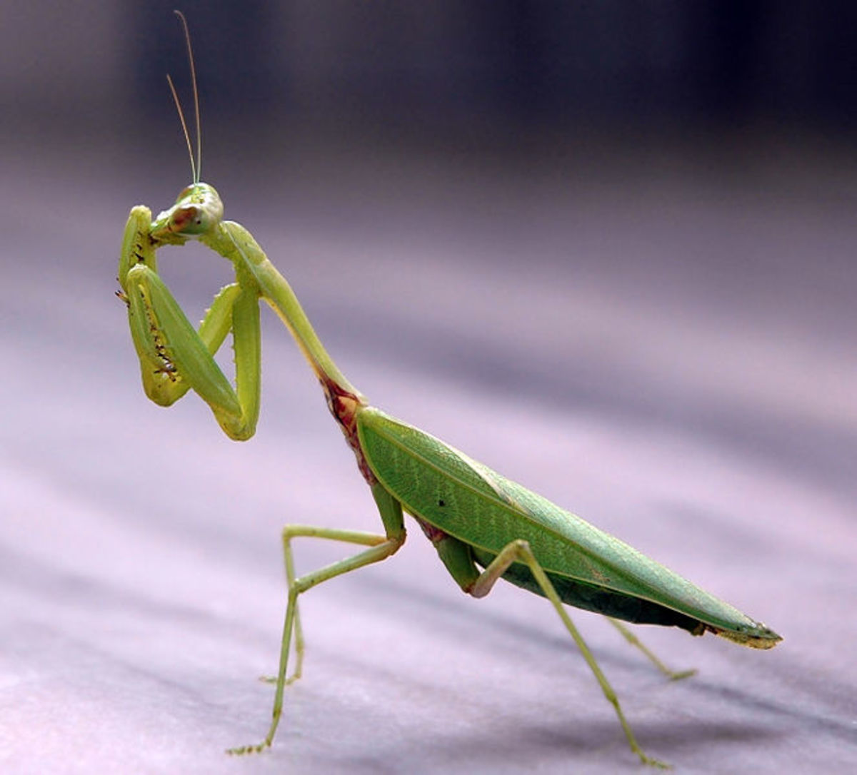 Preying Mantis will eat up all the pests in your yard and garden.