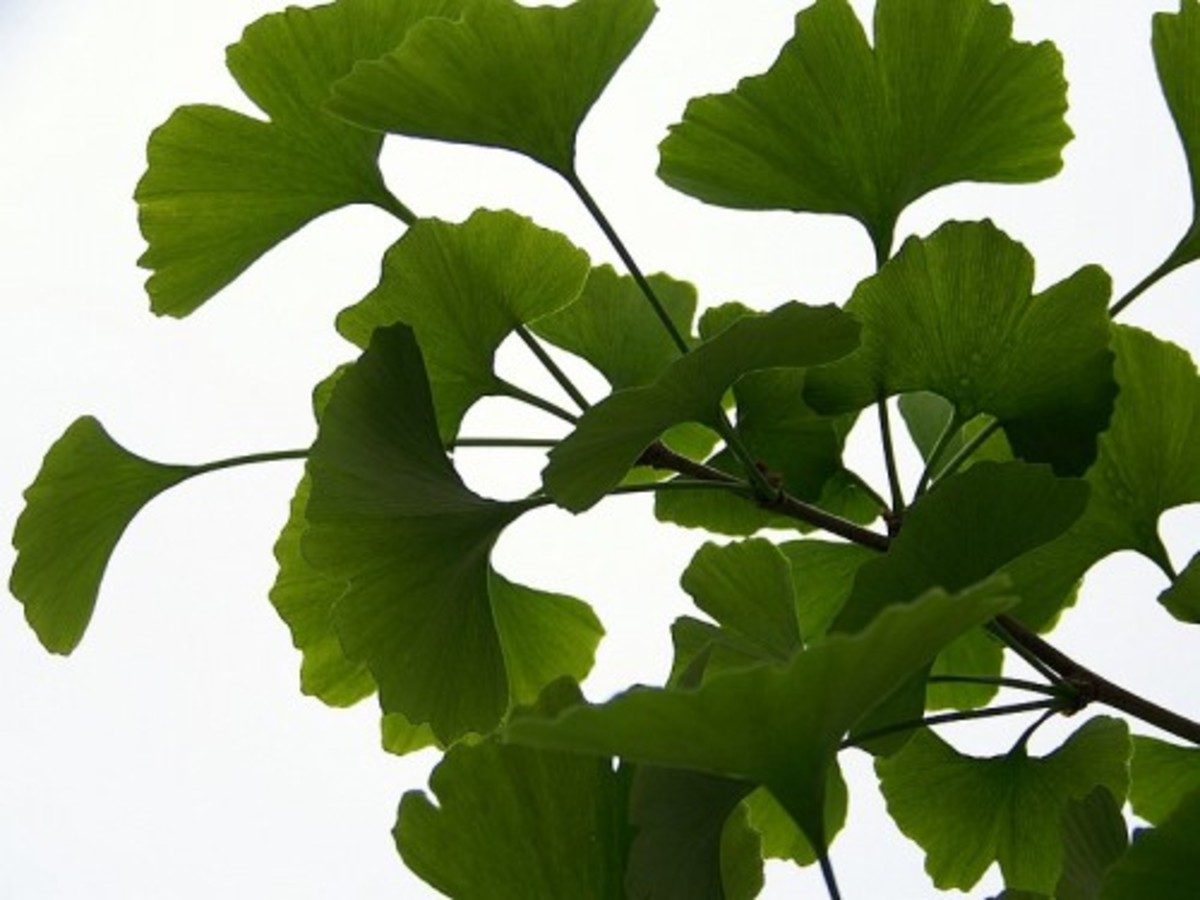 What is the benefit of ginkgo biloba supplements?