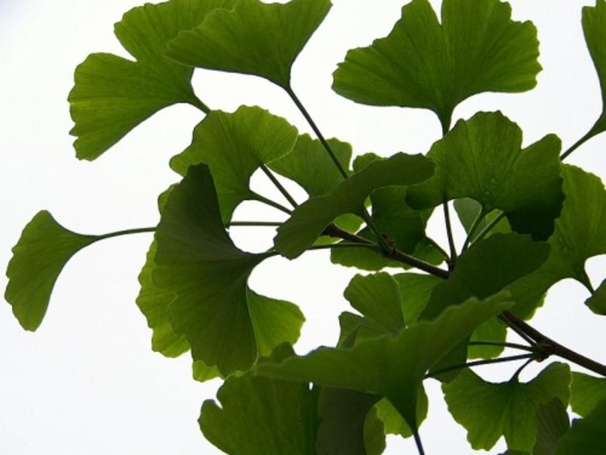 Ginkgo biloba plant by Marcefabi http://www.arteyfotografia.com.ar/3111/fotos/
