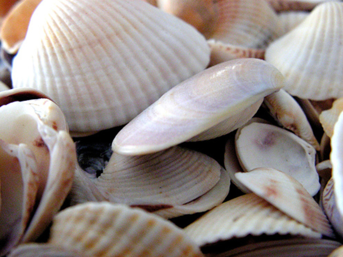 types-of-seashells