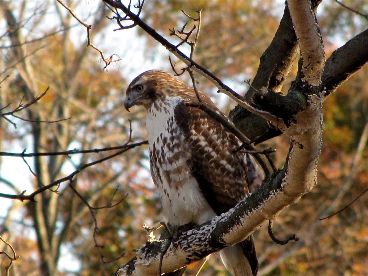 Birds of Prey:  The Red Tail Hawk