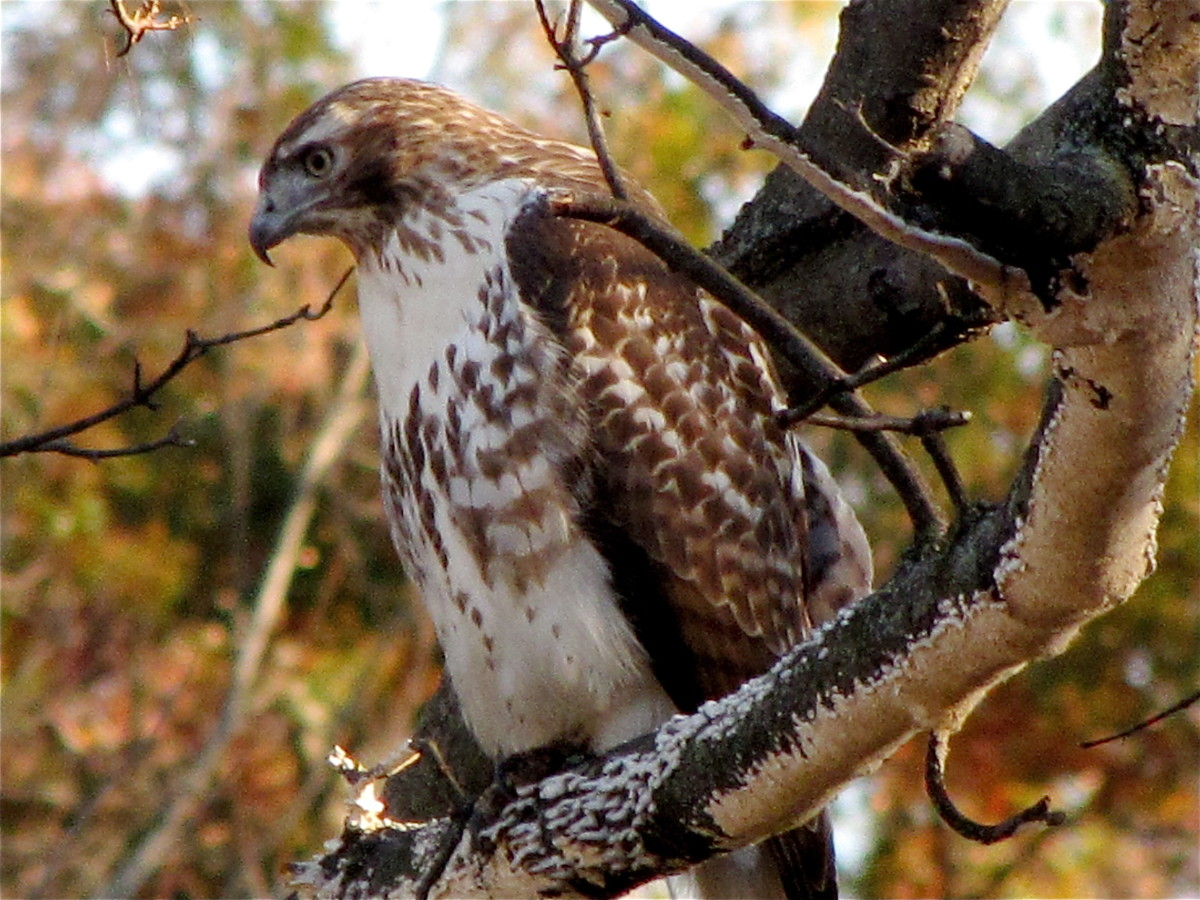 birds-of-prey-the-red-tail-hawk