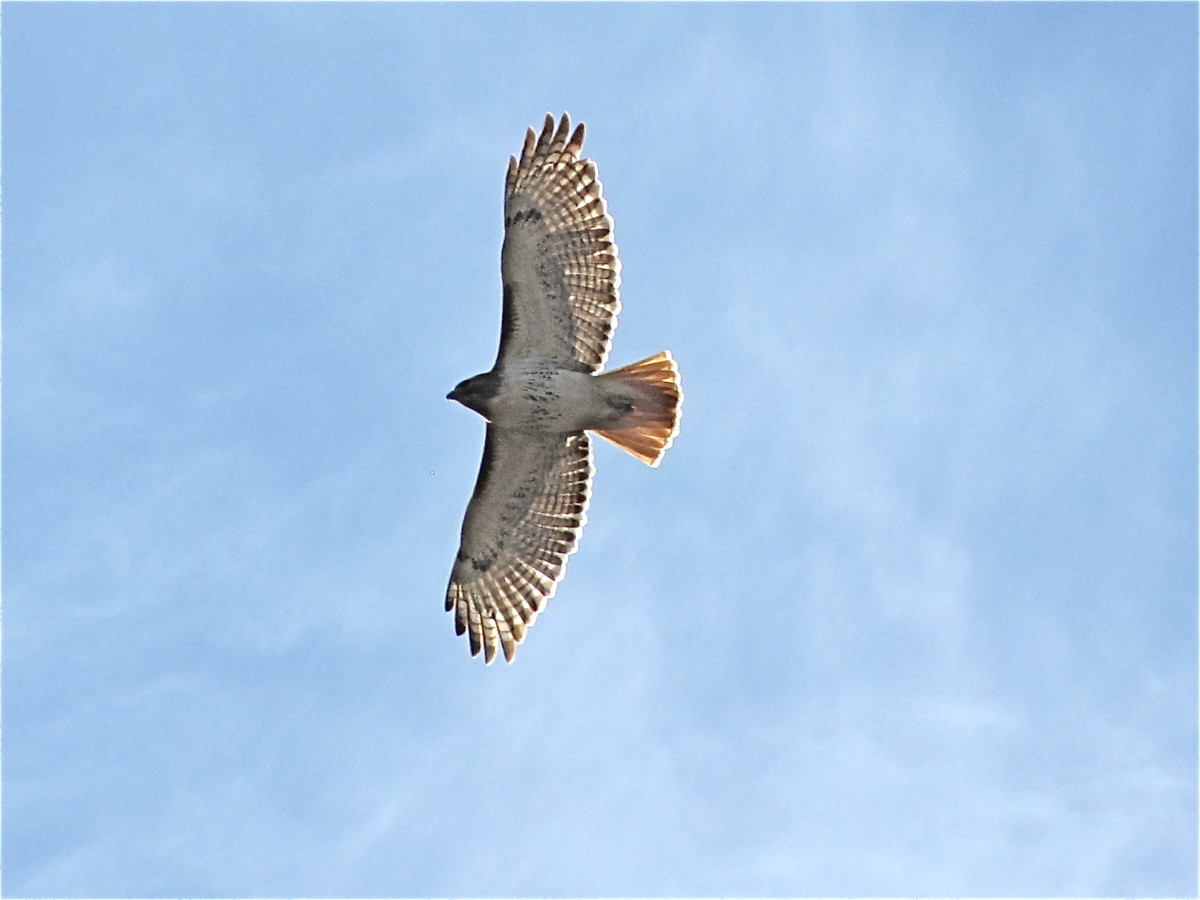 Red Tail Hawk soaring high above