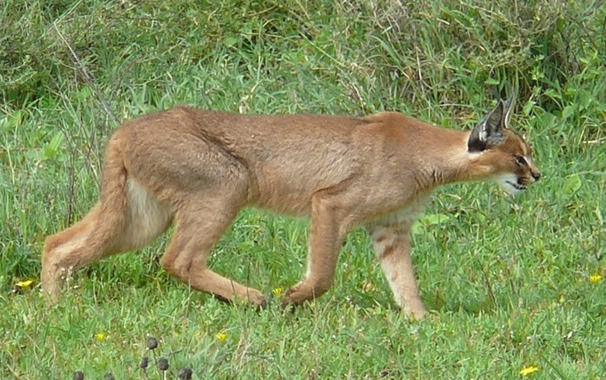 The Caracal: Six Remarkable Adaptations and General Facts