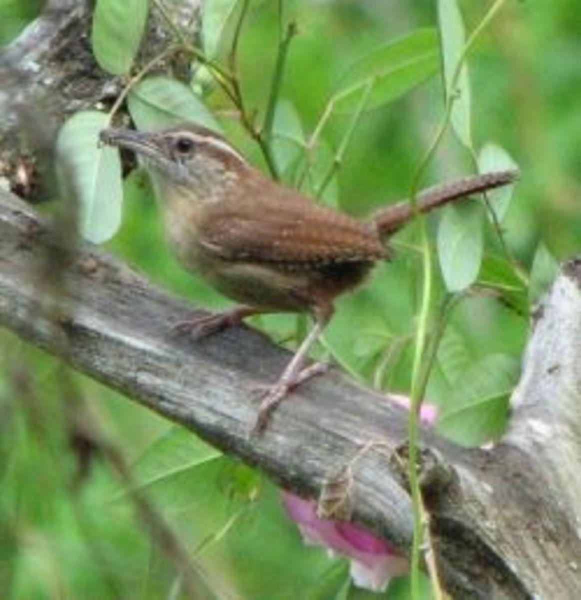 naturally_native_carolinawrens_nest