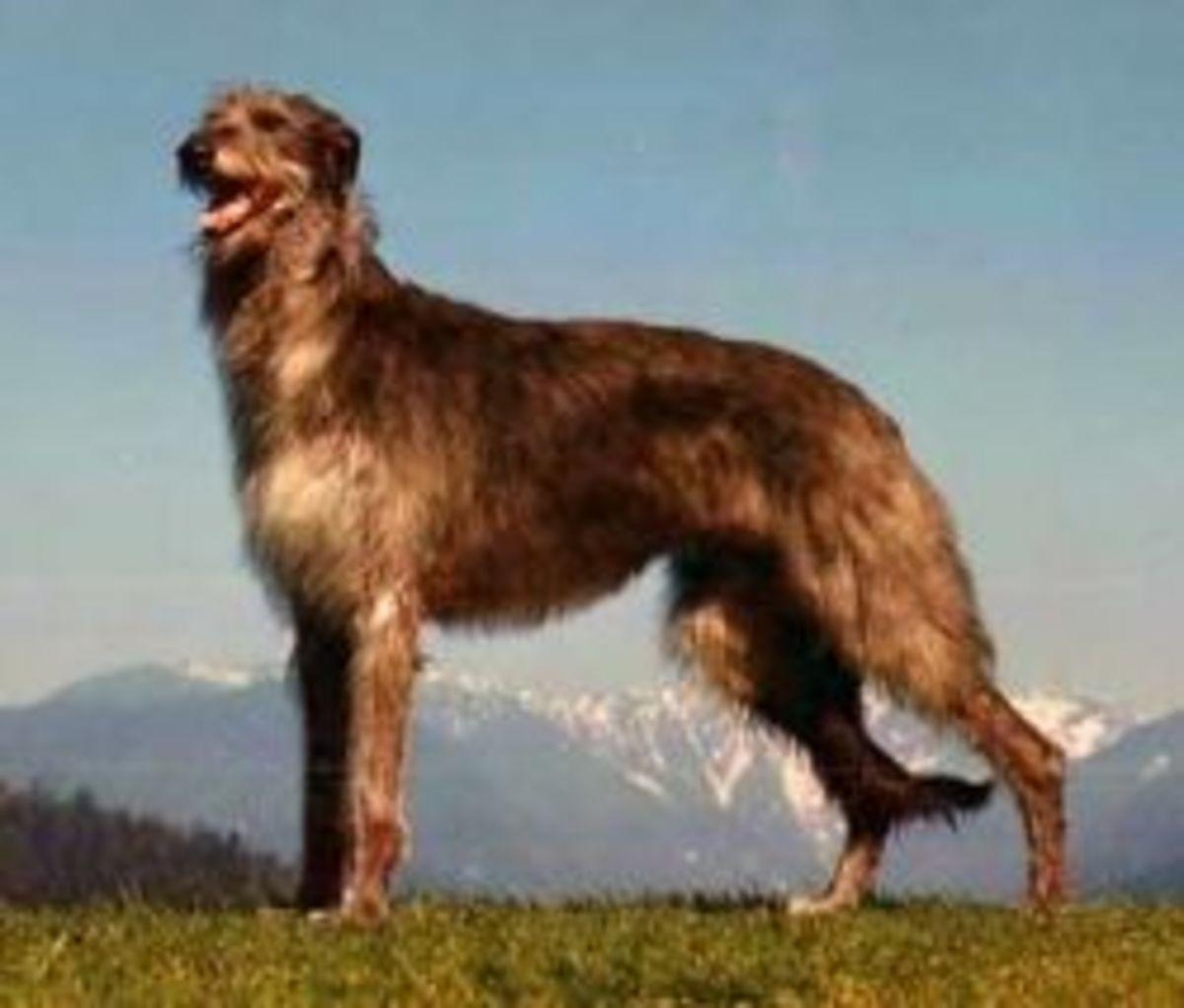The Scottish Deerhound resembles the Cwn Anwyn