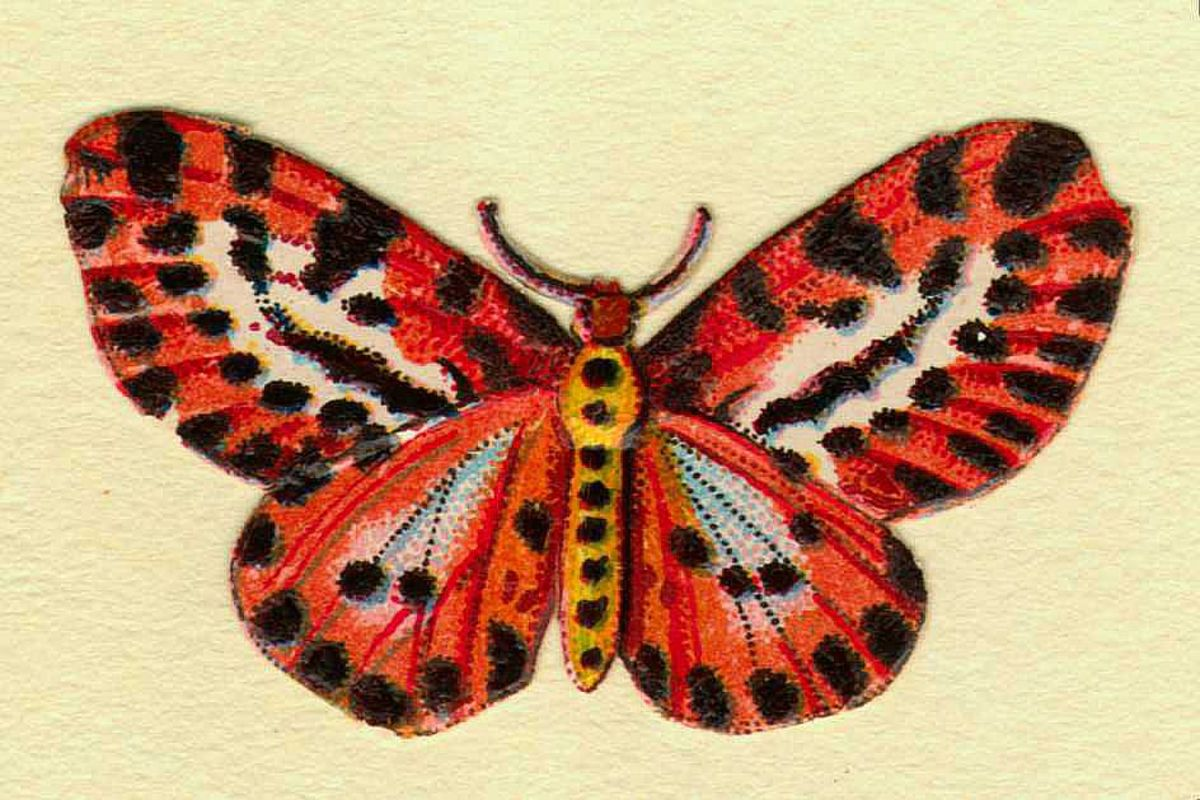 Tiger stripe butterfly clip art image