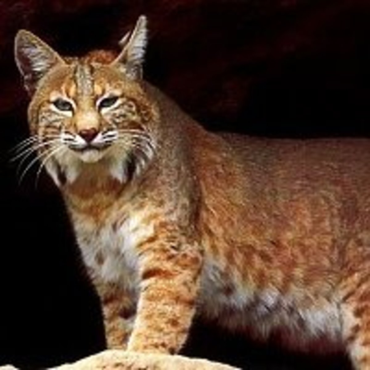 In a hunting directional set, the bobcat is the elder brother of the wolf and represents the southern direction, replacing the badger of the healing directional set.