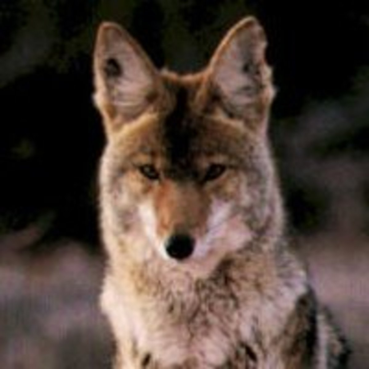 The coyote replaces the bear in a hunting directional set.  he can be a great teacher showing us how our impulsive nature or our self-centeredness fail to serve us well