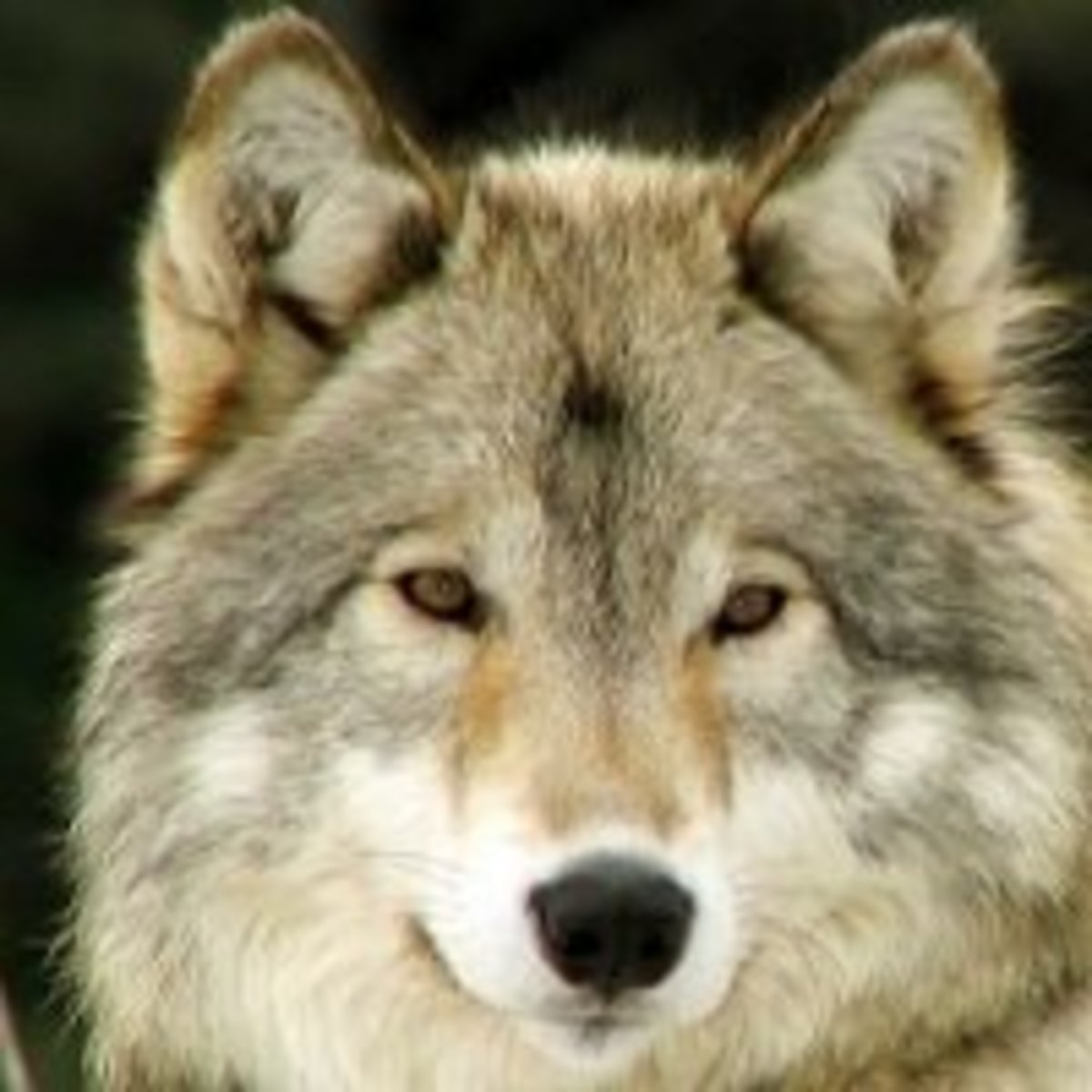 """To the white wolf Po'shai a ki'a said, """"being stout of heart and will, I make you younger brother of the Badger.  Because your coat is white and gray - the color of the dawn and day, I give you reign of the eastern direction."""""""