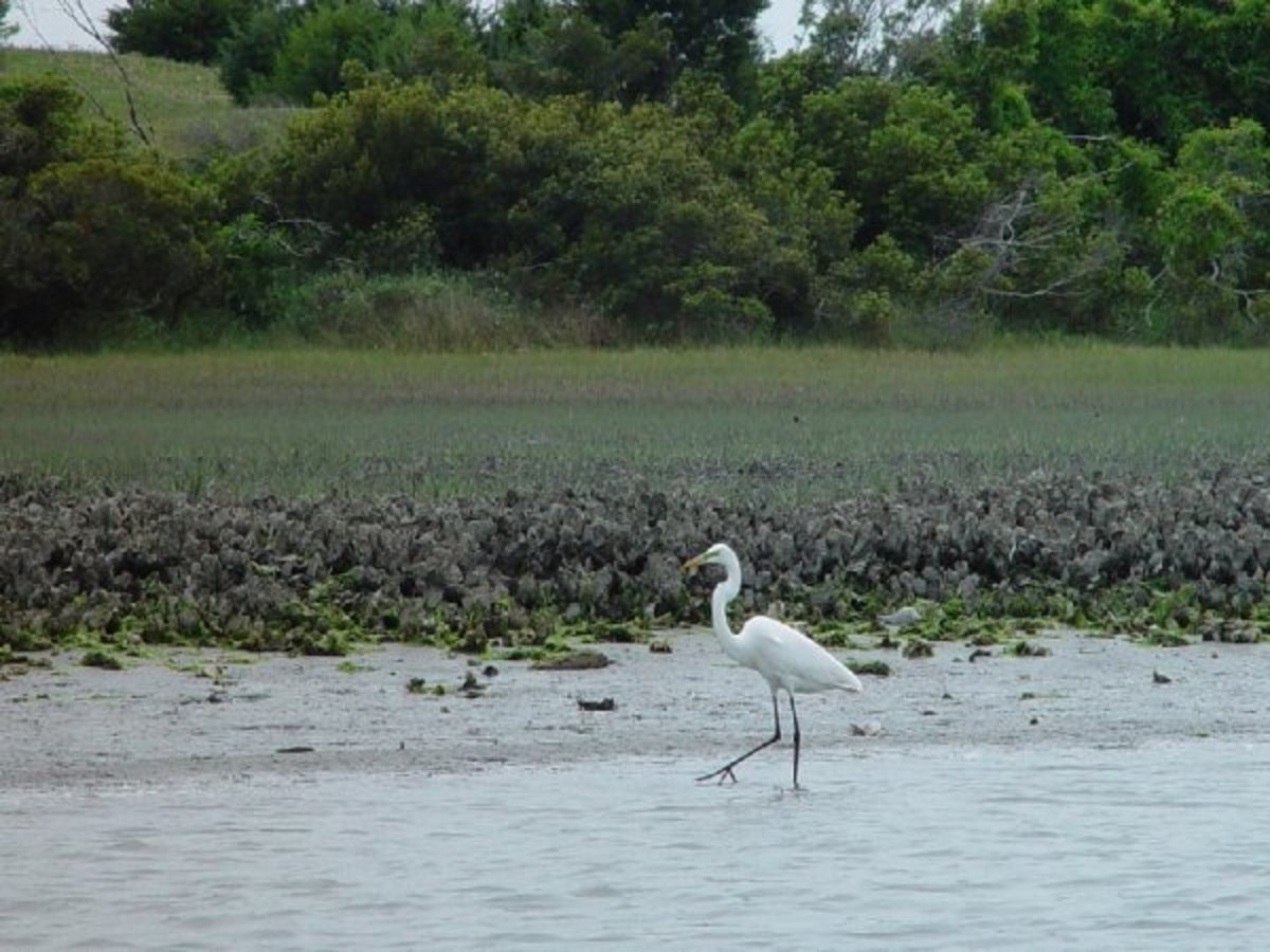 Great Egret at low tide on Taylor's Creek