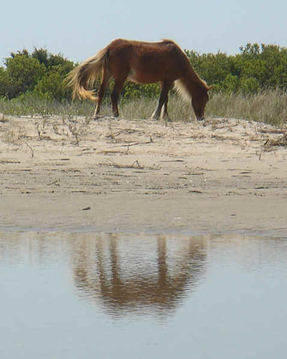 There are around 120 wild horses that live on Shackleford Banks.  They are descendants of horses that have roamed this island for over 400 years.