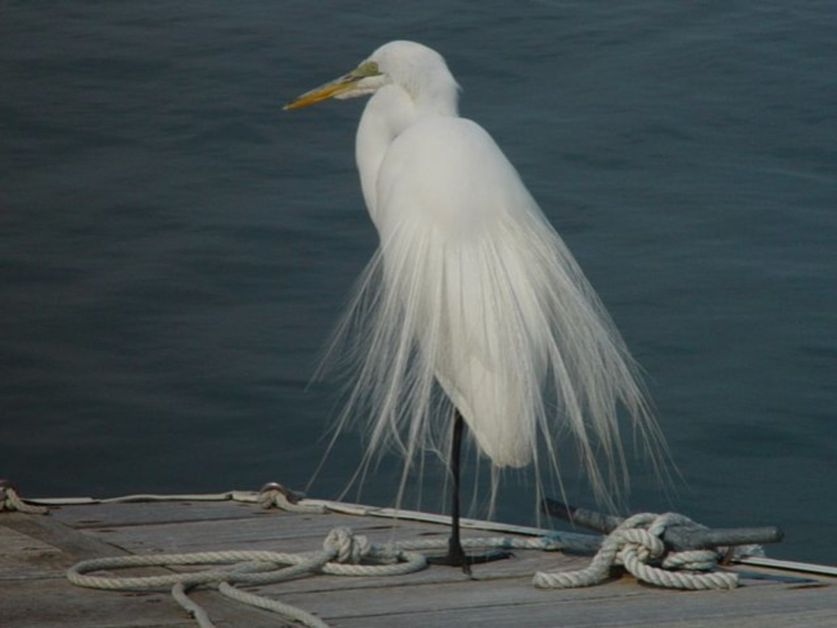 Great Egrets were once hunted to near extinction for their beautiful feathers