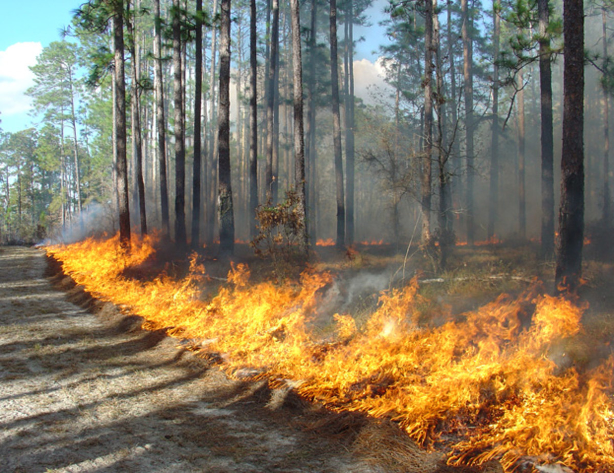 "Goals in 2009: expose ground for longleaf pine seedlings, preserve ""duff"" at base of trees, protect old-growth longleaf pine trees."