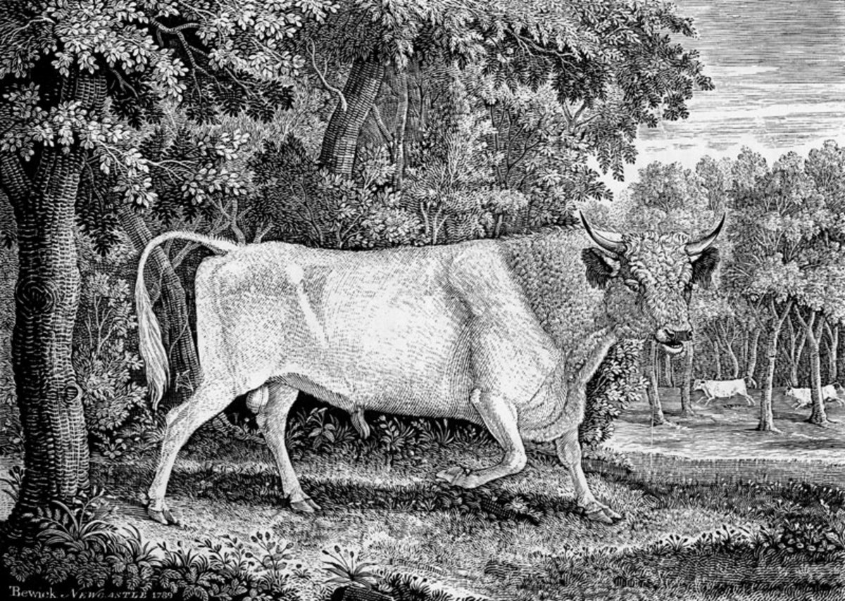 The very large (7 1/4 x 9 3/4 inches) wood engraving by Thomas Bewick of a Chillingham Bull, executed for Marmaduke Tunstall of Wycliffe, Yorkshire in 1789.