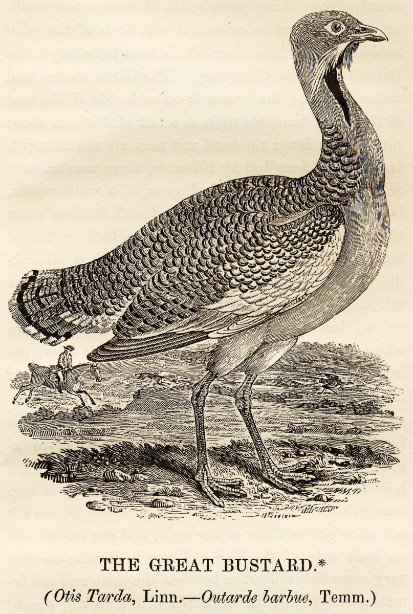 'Great Bustard' By Thomas Bewick (1753-1828) (History of British Birds (1797-1804))