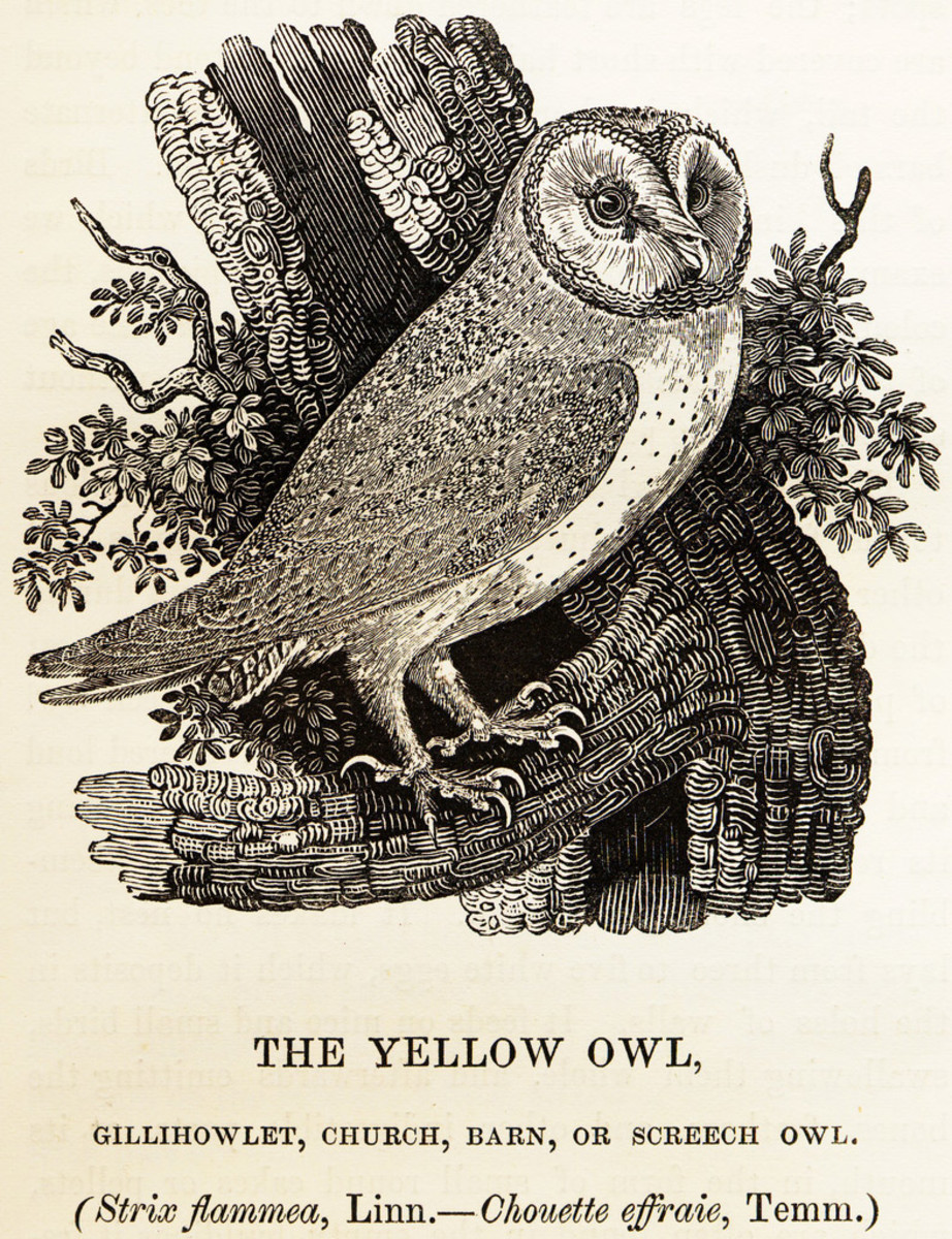 "Barn Owl Tyto alba.  Captioned ""The Yellow Owl, Gillihowlet, Church, Barn, or Screech Owl. Strix flammea"", Linn[aeus].—Chouette effraie, Temm[inck]."" Source : History of British Birds (1847) by Thomas Bewick"