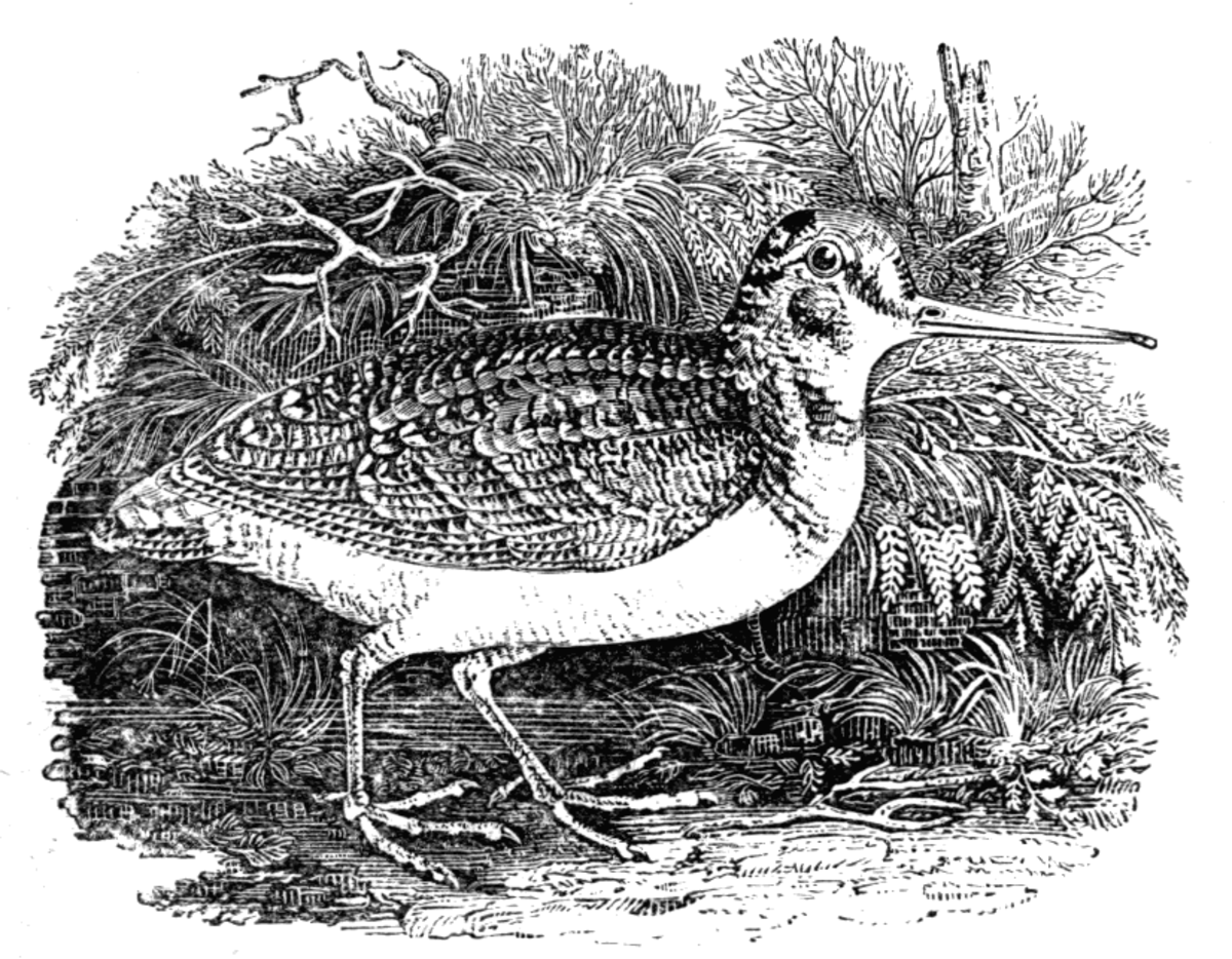 The Woodcock, from 'The Water Birds.' (1804)