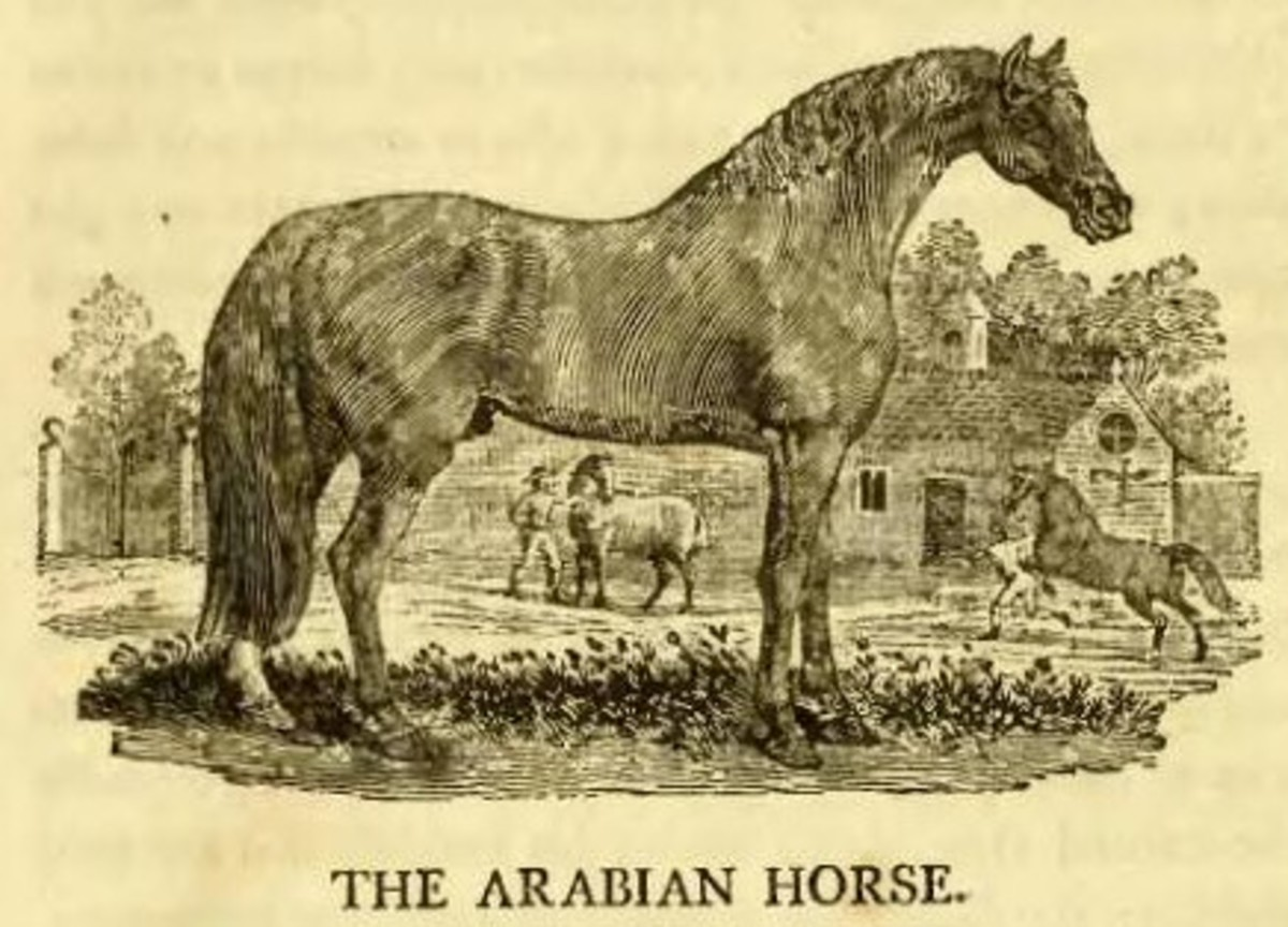 """Wood engraving """"The Arabian Horse"""" by Thomas Bewick in his """"A General History of Quadrupeds"""", 1790"""