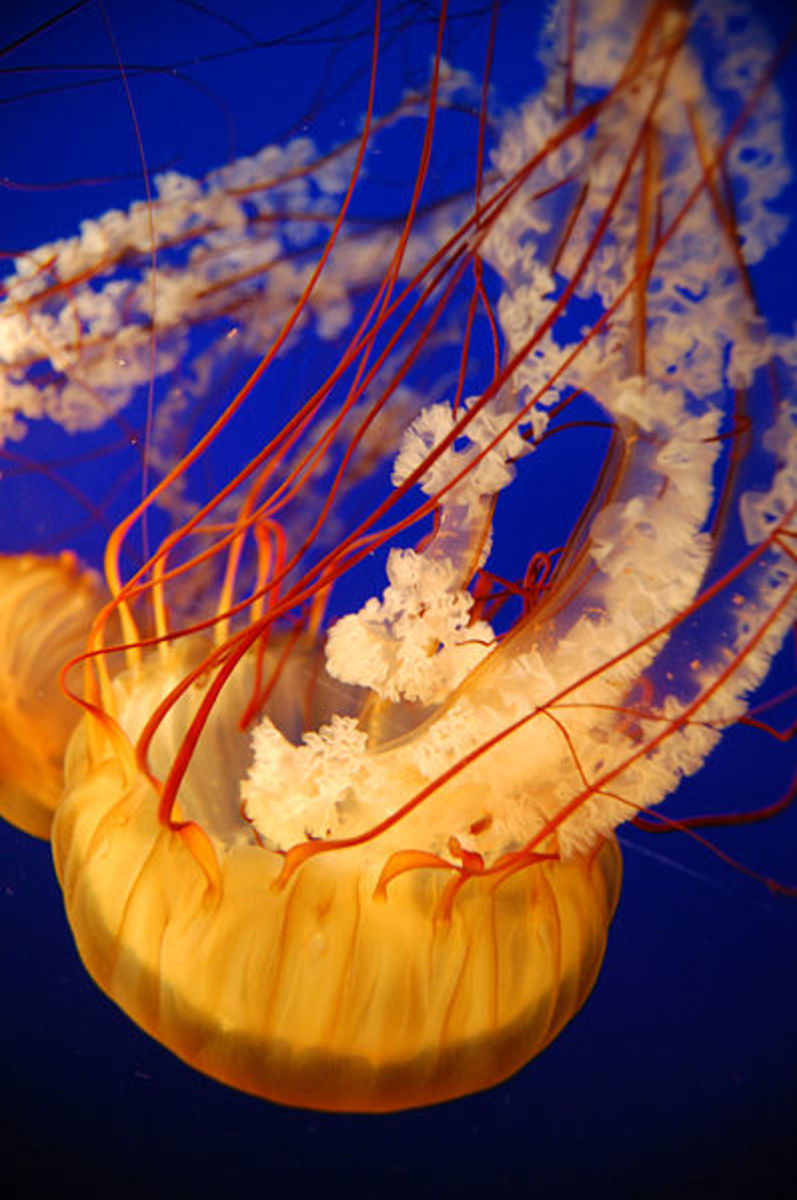 Jellyfishs venom is so deadly and painful that once injected with the venom you will long to die sooner than latter. Image Credit: Anastasia Shesterinina, Wikimedia Commons.