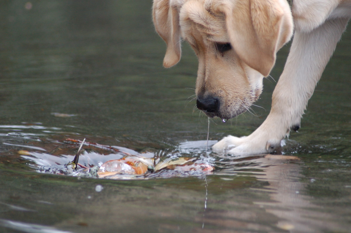 Labrador puppies are naturally built for the water.