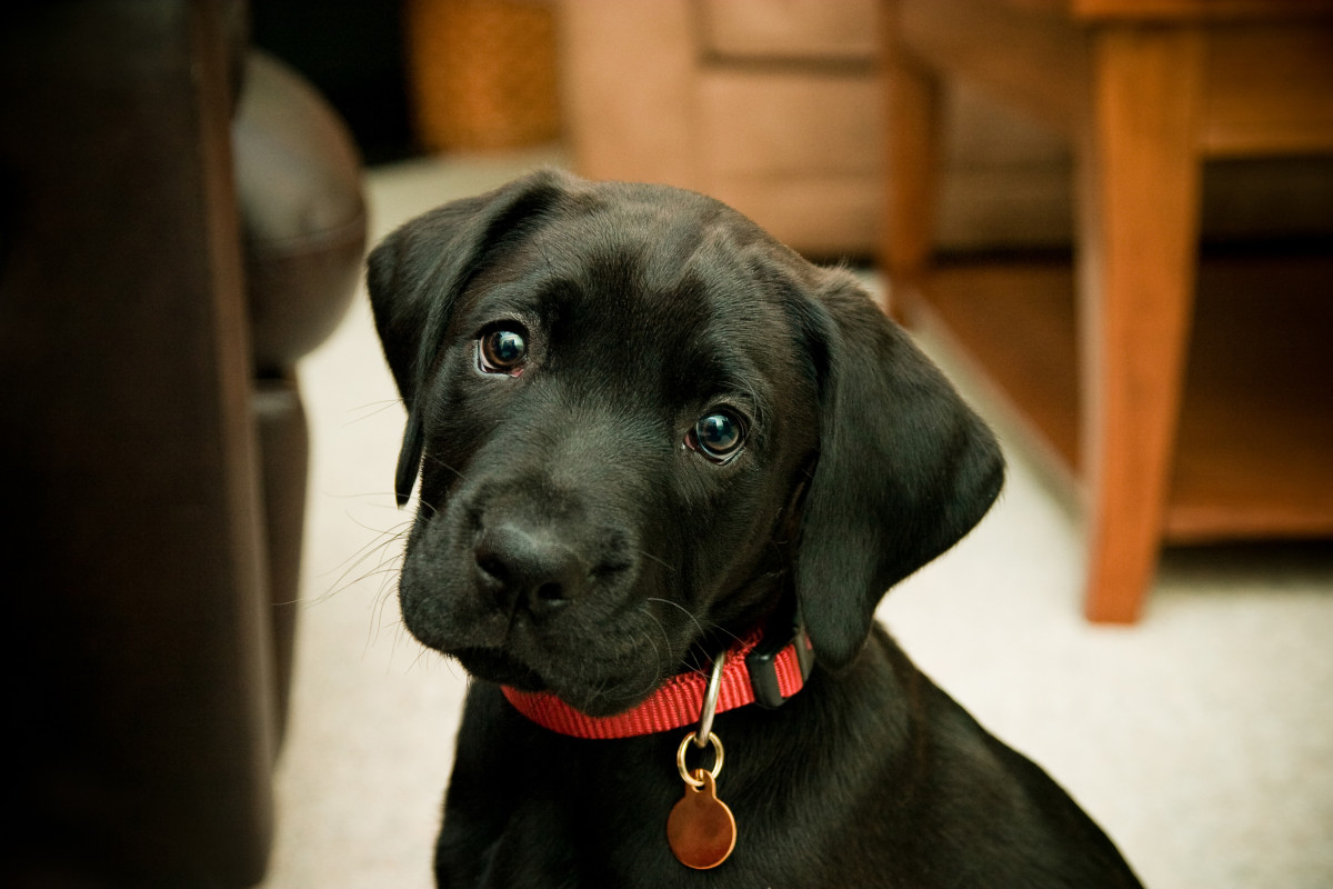Labrador puppies are so popular, they can often be a mix and you wouldn't know it.  This is a lab/boxer mix.