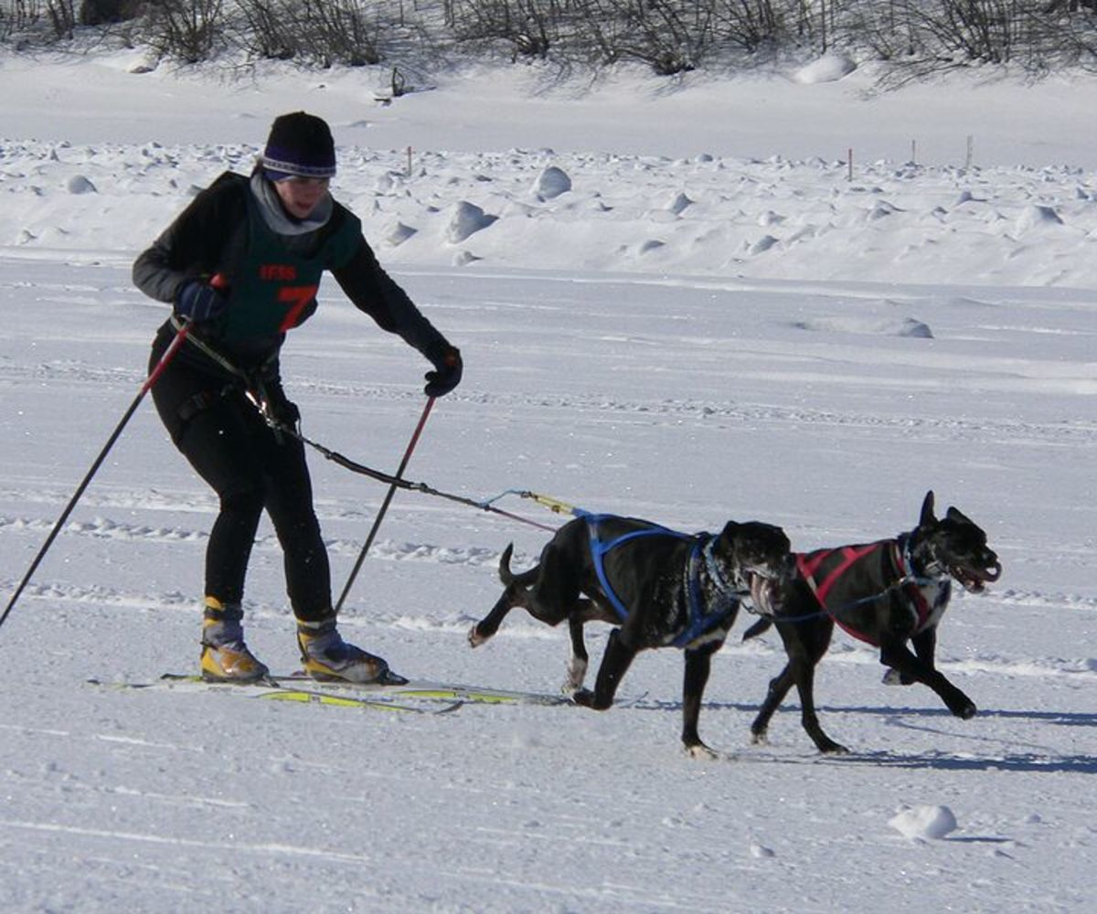 How To Cross Country Ski With Alaskan Malamutes