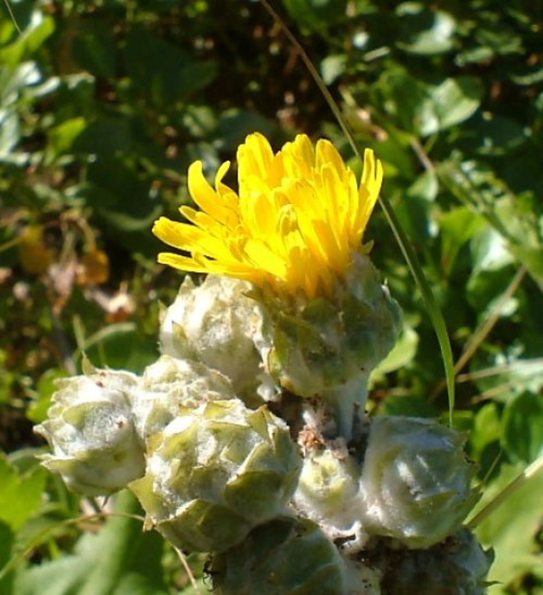 Canary Island Sowthistle Photo by Steve Andrews